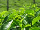 Which Tea Leaves Should You Read?